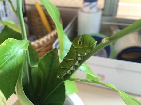 アゲハチョウの幼虫がサナギになり成虫として羽ばたくまでを見届けよう!【アゲハの成長記録Vol.1】