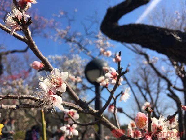 羽根木公園梅まつり2017 7