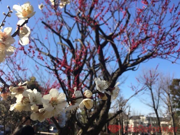 羽根木公園梅まつり2017 13