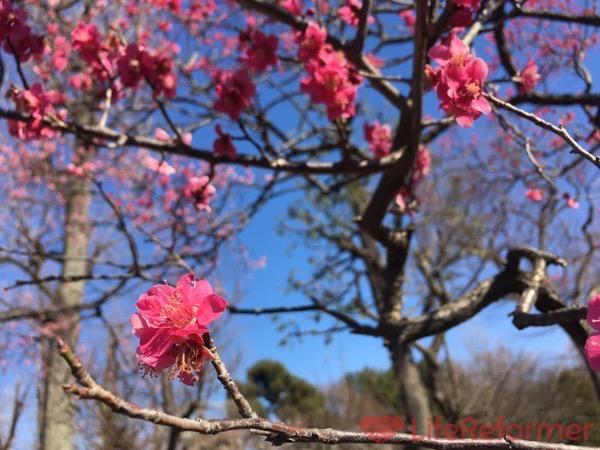 羽根木公園梅まつり2017 6