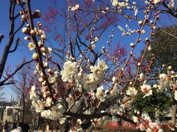 羽根木公園梅まつり2017 14