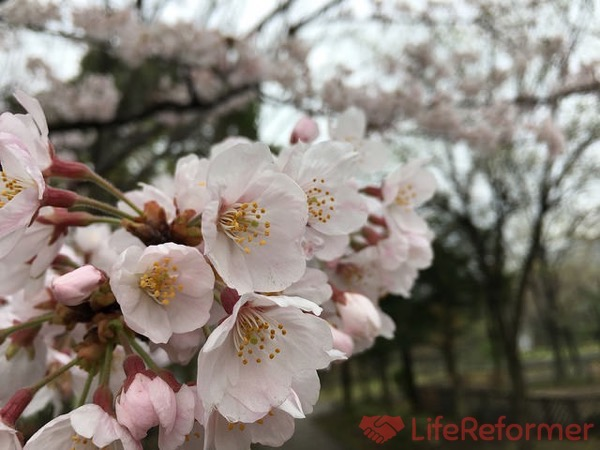 お花見のドリンク 9